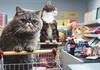 Всі котячі меми в рекламі супермаркету